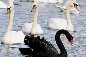 black-swan05
