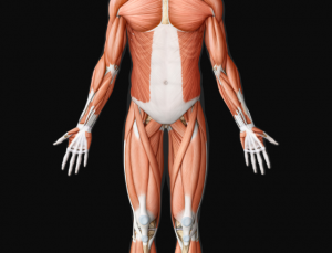 Virtual Body Human Anatomy is an impressive 2D anatomy app
